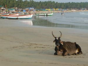 Cow on Beach in Goa